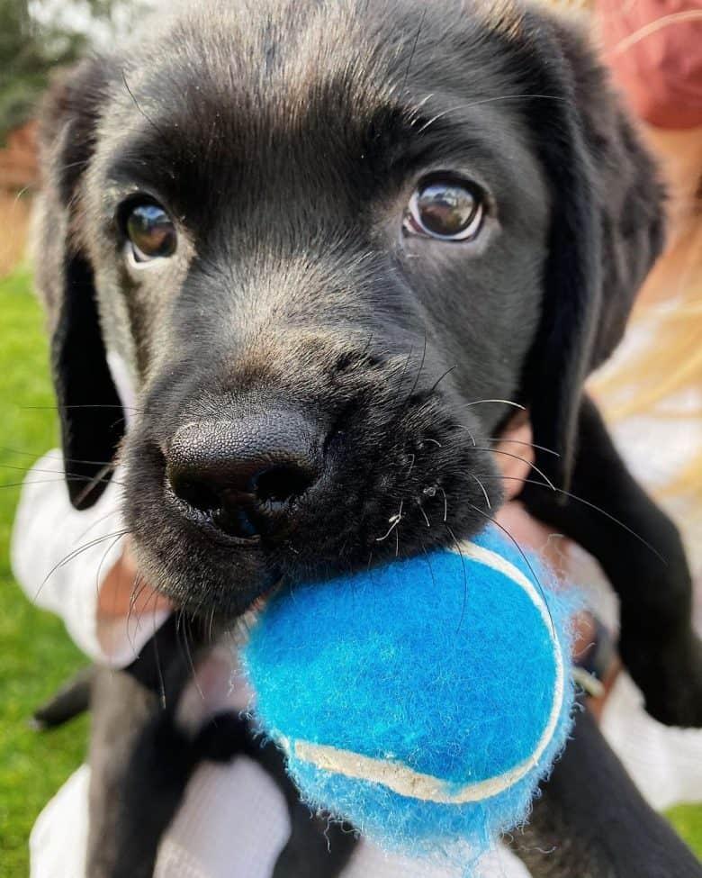 Young Black Labrador chewing tennis ball