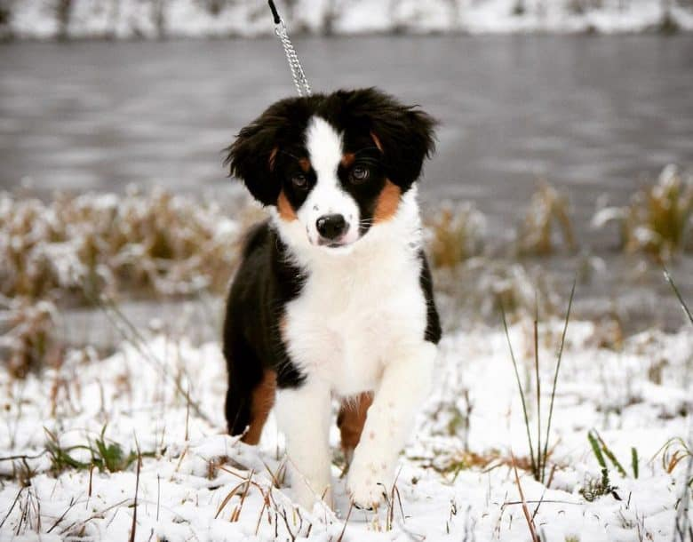 Young Miniature American Shepherd walking on the snow