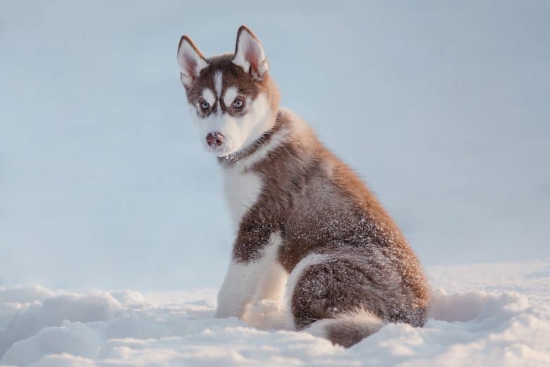 Young Red Husky sitting on snow field