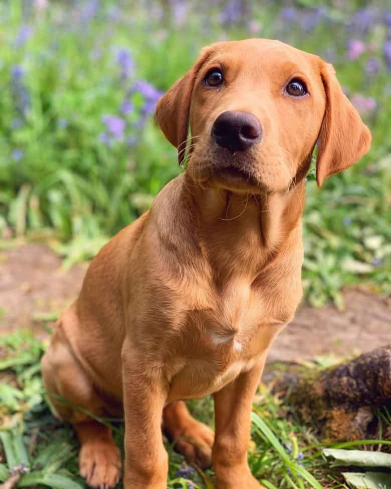 Young Fox Red Lab dog