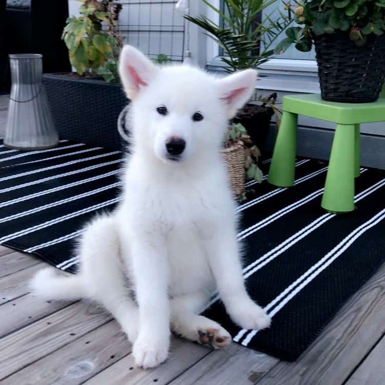 Young White Alaskan Malamute on the deck