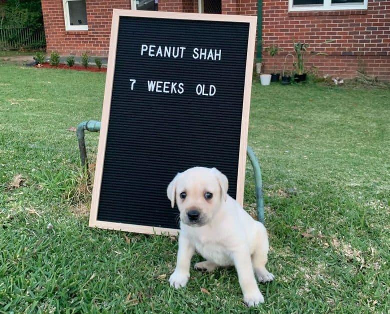 7-week-old Labrador Retriever puppy