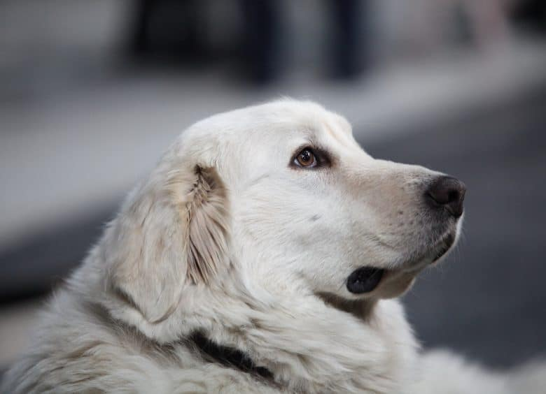 Adorable Great Pyrenees dog posing seriously