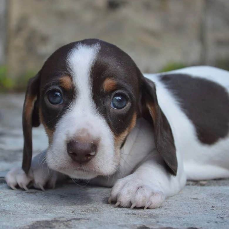 A close-up image of a Miniature Dachshund puppy