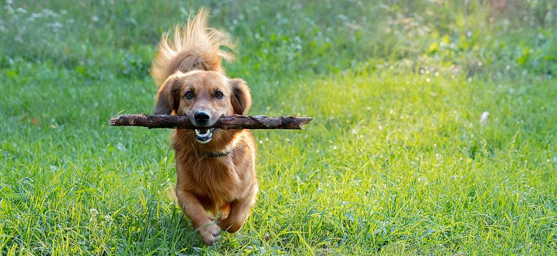 Active Dachshund dog biting stick while running on the meadow