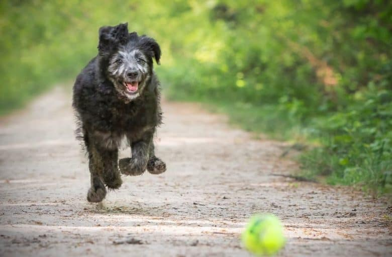 Active German Shepherd Poodle mix looking goofy while playing