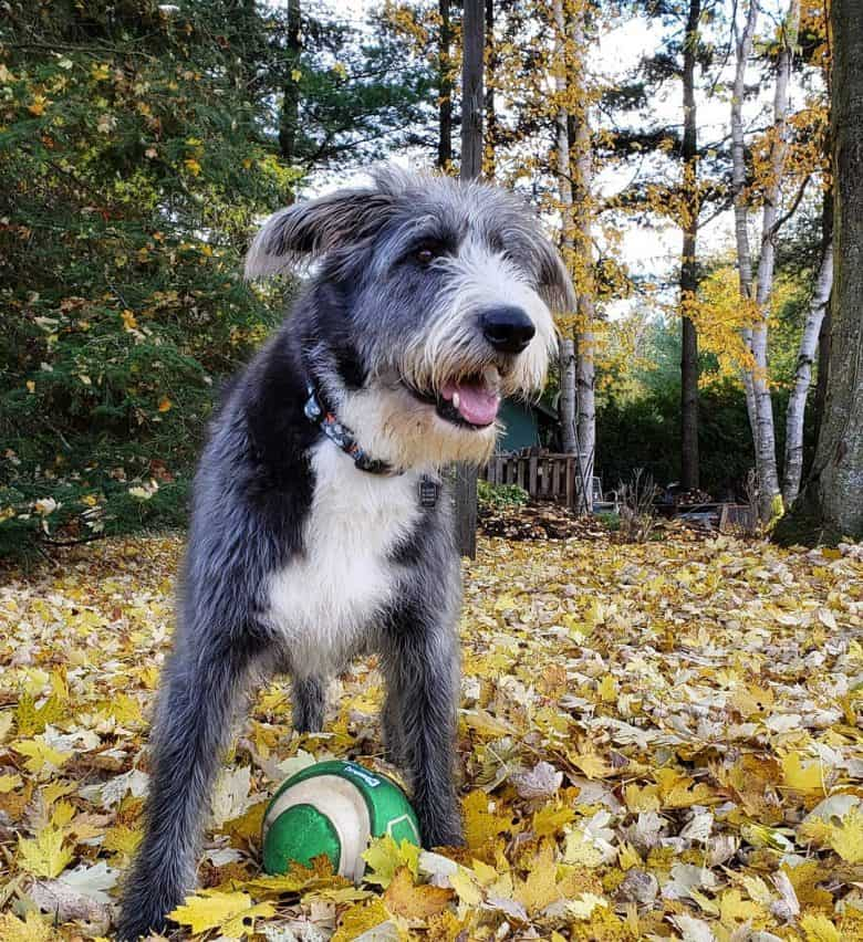 Active German Shepherd Poodle mix playing ball in autumn park