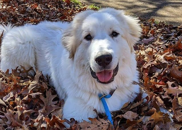 Active Great Pyrenees dog playing with the leaves