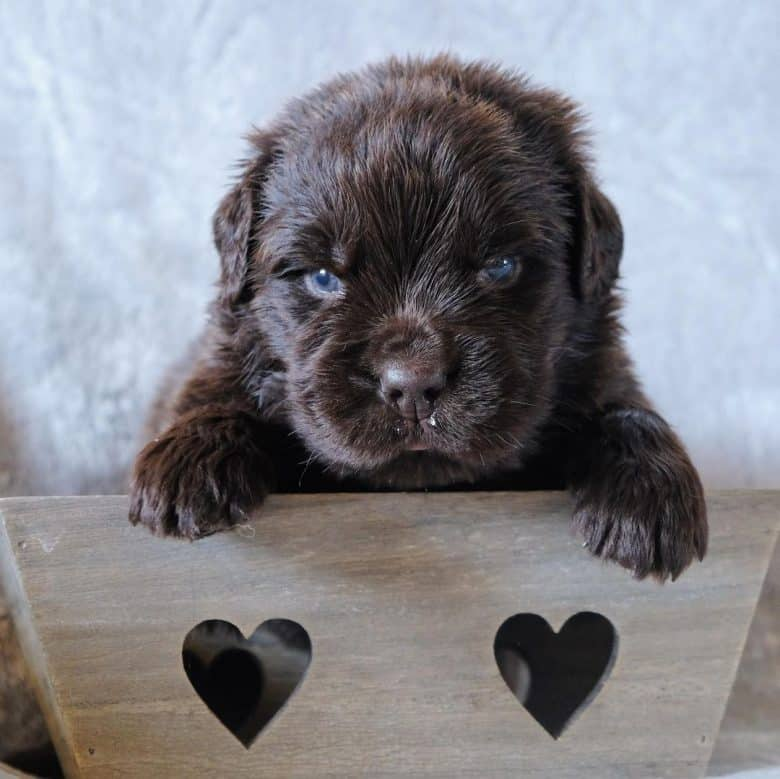 An adorable brown Newfoundland puppy inside a wooden crate