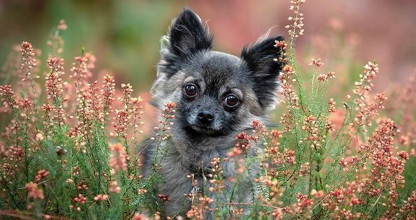 Adorable Chihuahua posing on flowery grass