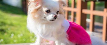 Adorable Chihuahua wearing pink coat