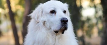 Adorable outdoor portrait of Great Pyrenees