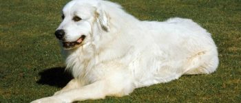 Great Pyrenees dog sitting on the lawn
