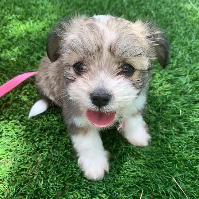 Adorable Malchi puppy
