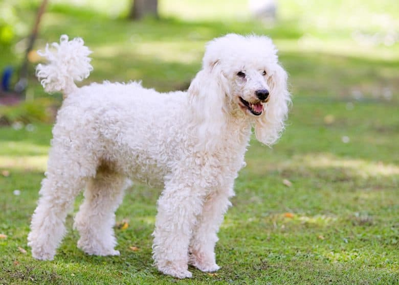 Smiling Poodle stands in the garden
