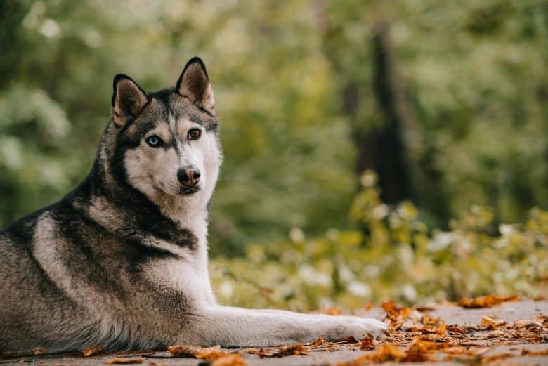 Adorable Siberian Husky in an autumn park