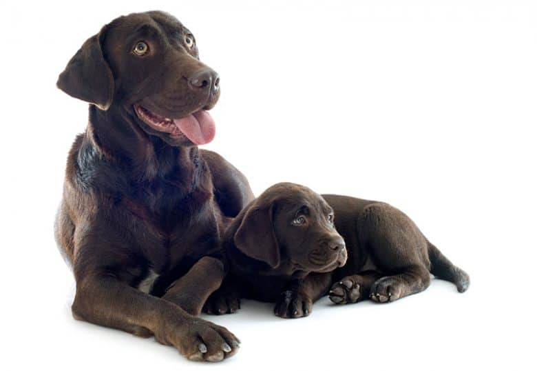 Adult and young Labrador Retriever dogs