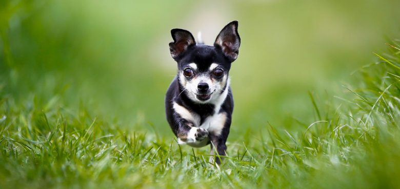 Adult black & white Chihuahua dog running on the grass