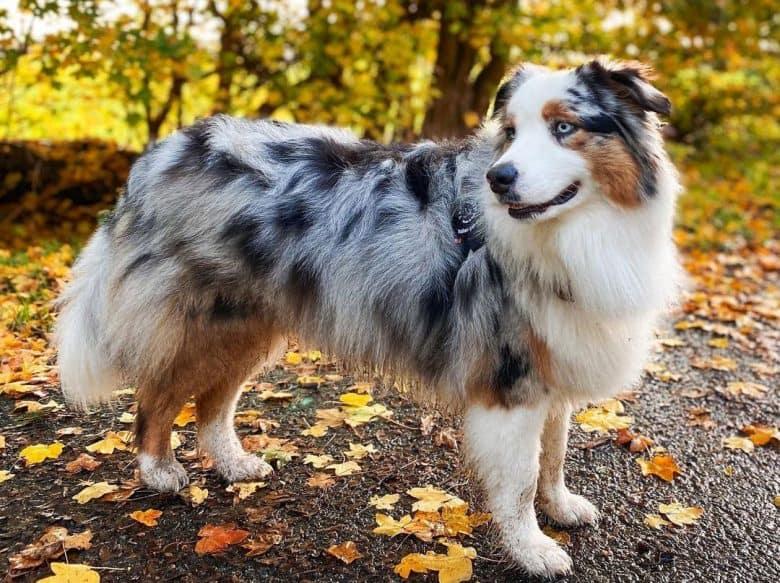 Adult Blue Merle Australian Shepherd dog posing outdoor