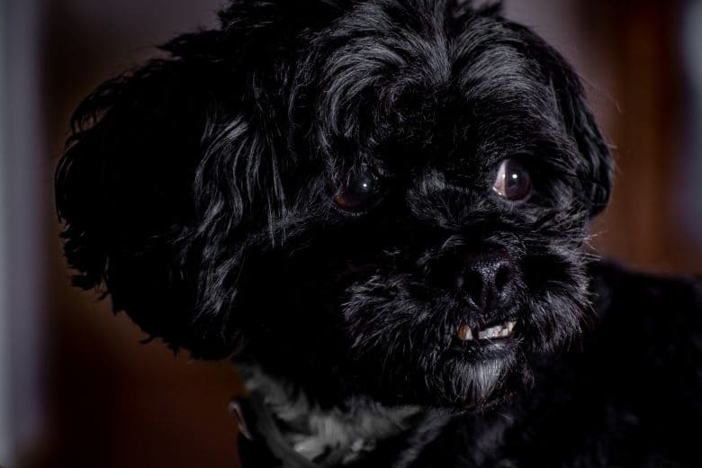 Affenpinscher close-up image looking to the right