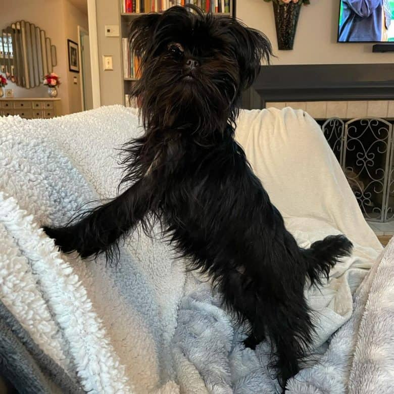 Affenpinscher standing on a couch with white blanket