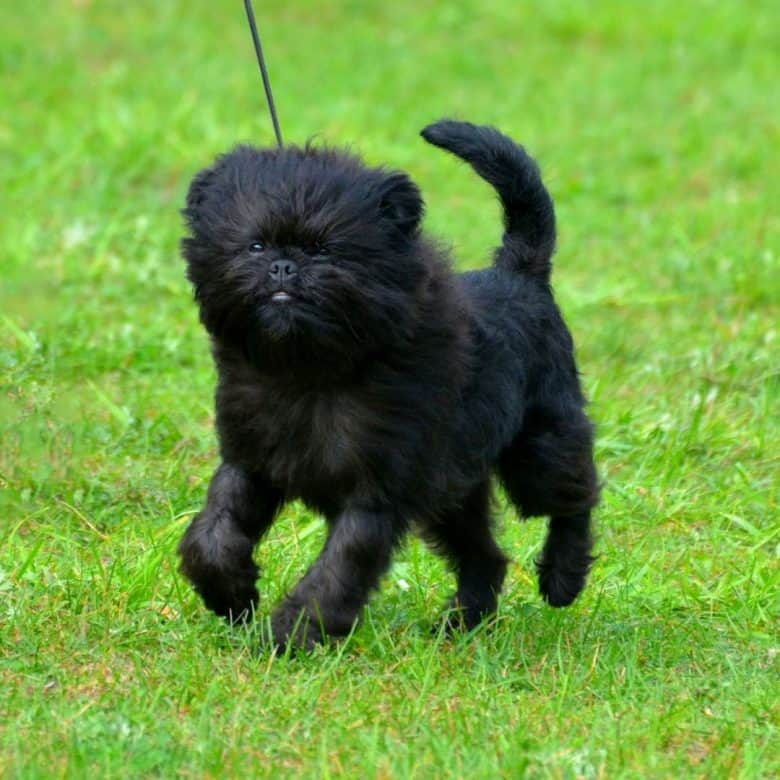 Affens puppy strutting while walking