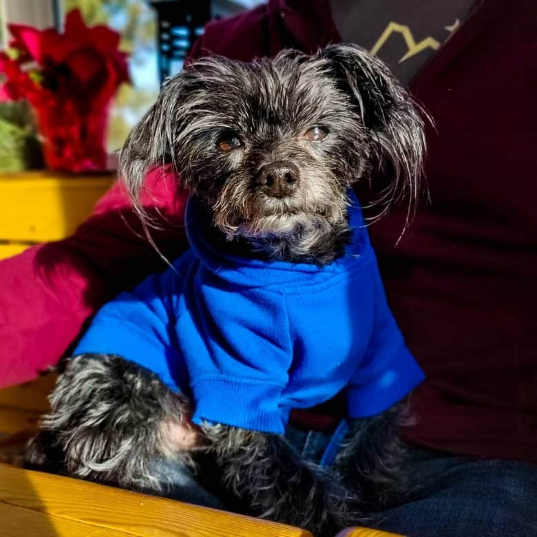 an Affenyorkie looking sassy and lounging while wearing a blue sweater