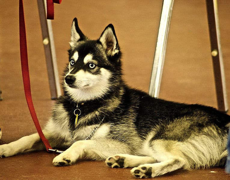 An Alaskan Klee Kai laying down patiently