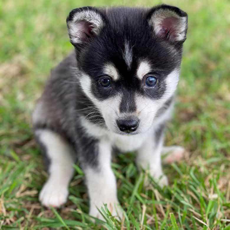Alaskan Klee Kai puppy sitting on the grass