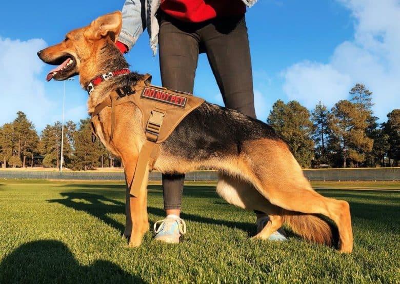 An American German Shepherd on training