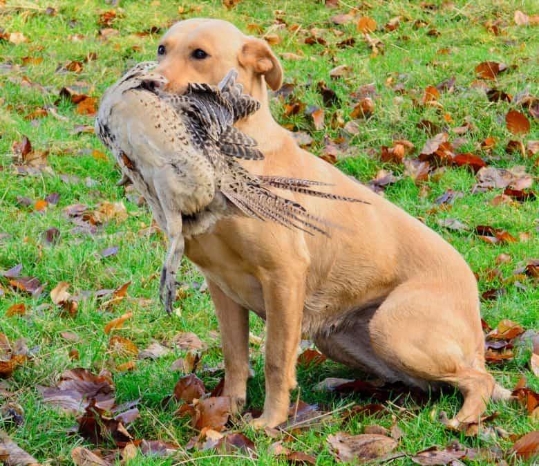 American Labrador hunting pheasant