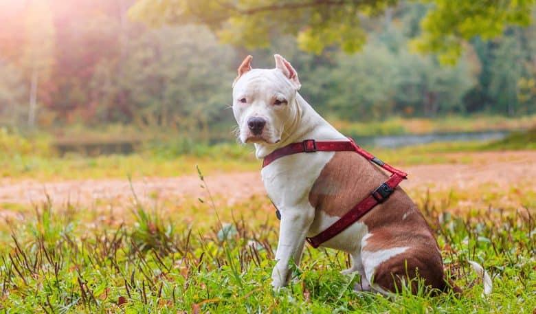 American Staffordshire Terrier dog sitting on the bushy field