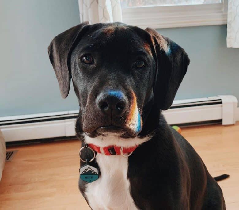 American Staffordshire Terrier Lab mix portrait