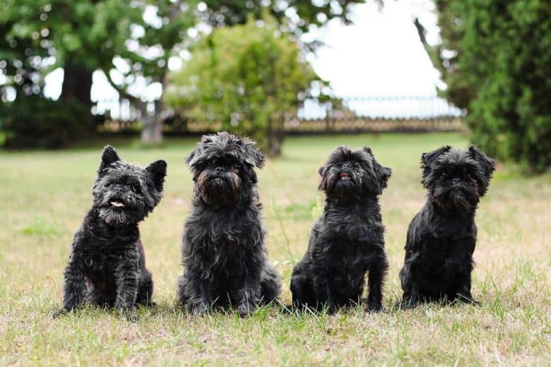 Ape Terrier puppies lining up for a photo