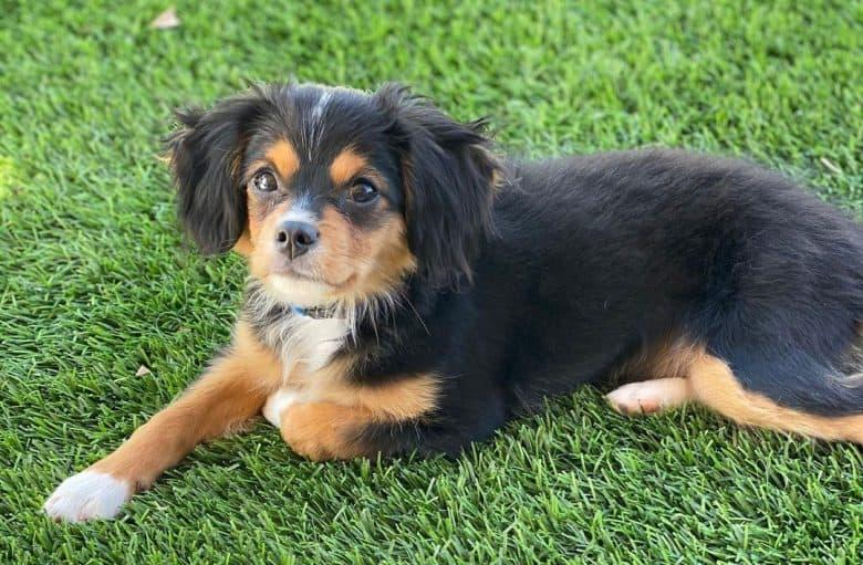 Aussalier mix dog lying on the grass