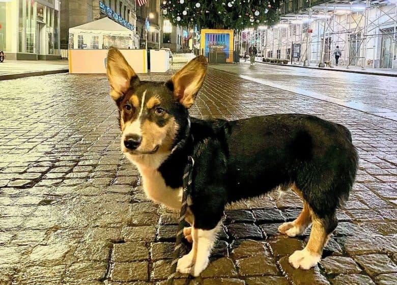 Aussie Corgi mix dog standing on the street