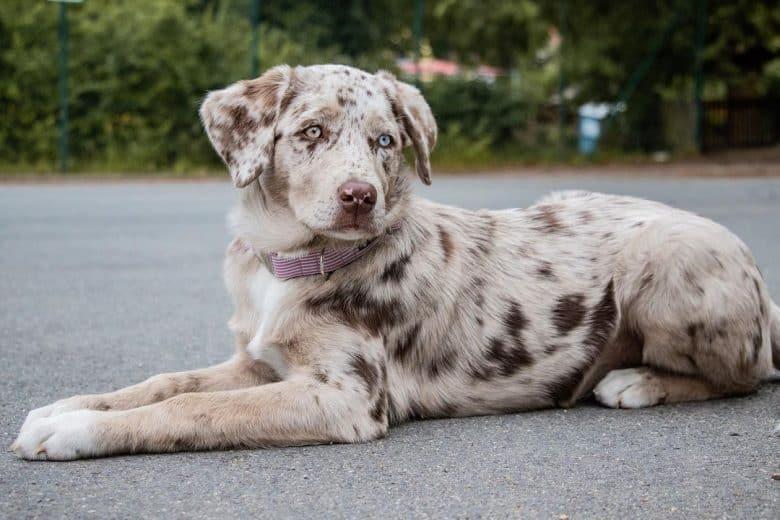 Aussie Labrador Retriever mix dog