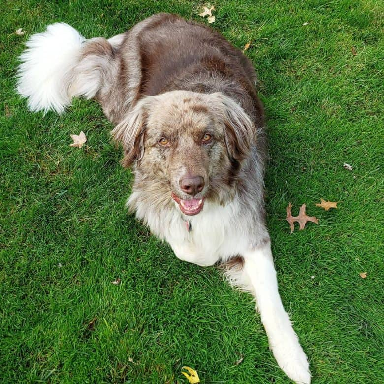 Aussie Newfie mix dog lying on the grass