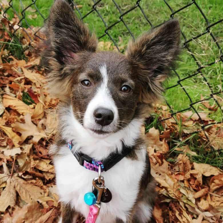 Aussie Papillon mix dog portrait