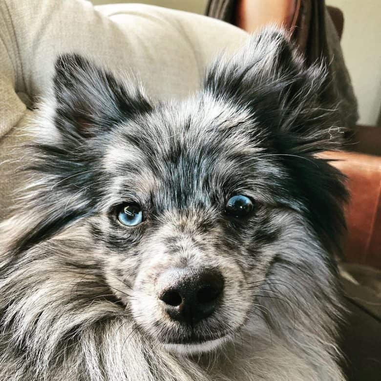 An Aussie Pom with dual colored eyes