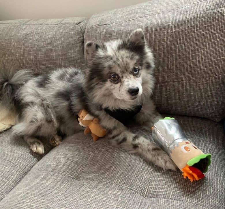 Aussie Pomeranian mix dog playing on the couch