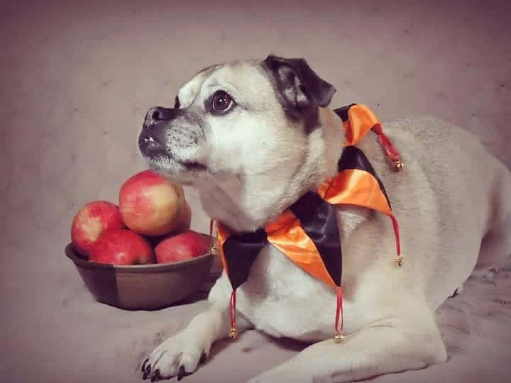 Aussie Pug mix dog lying beside the apples