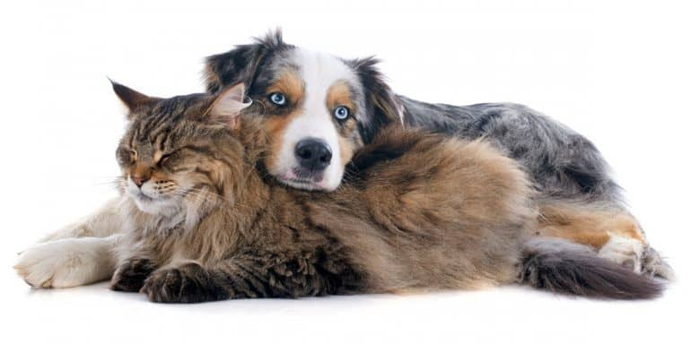 Aussie Shepherd lying with a cat