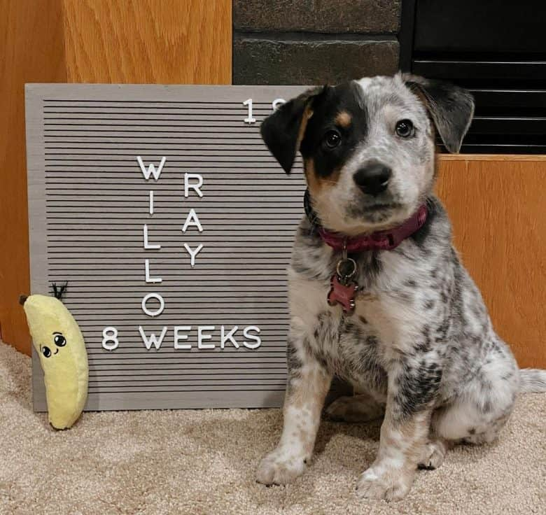 A Border Collie Blue Heeler mix puppy sitting and looking proud