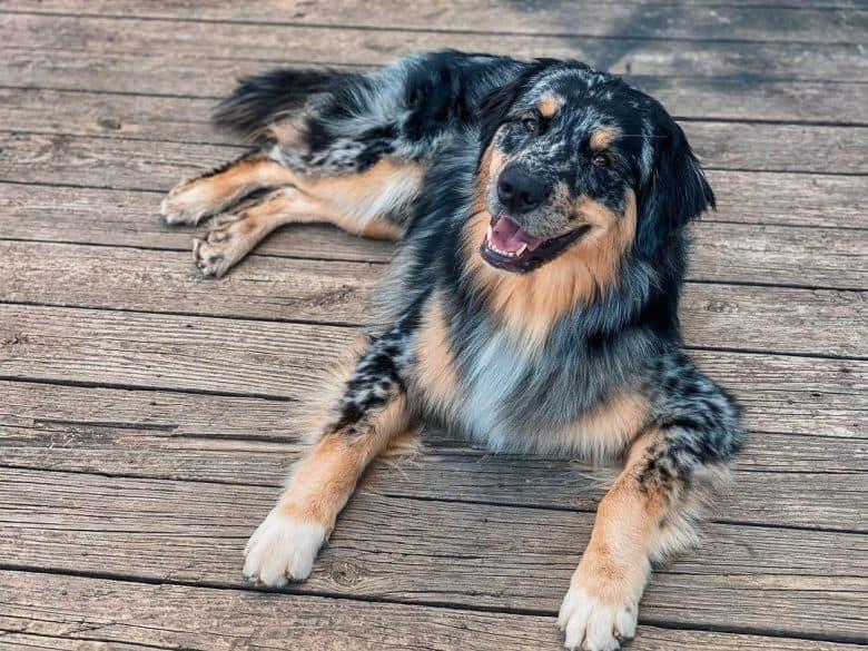 Australian Retriever mix dog lying on the deck