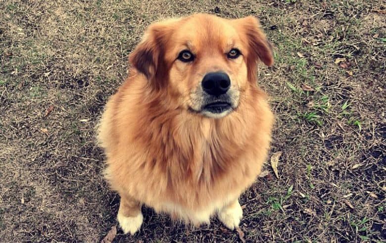 Australian Shepherd Chow Chow mix dog portrait
