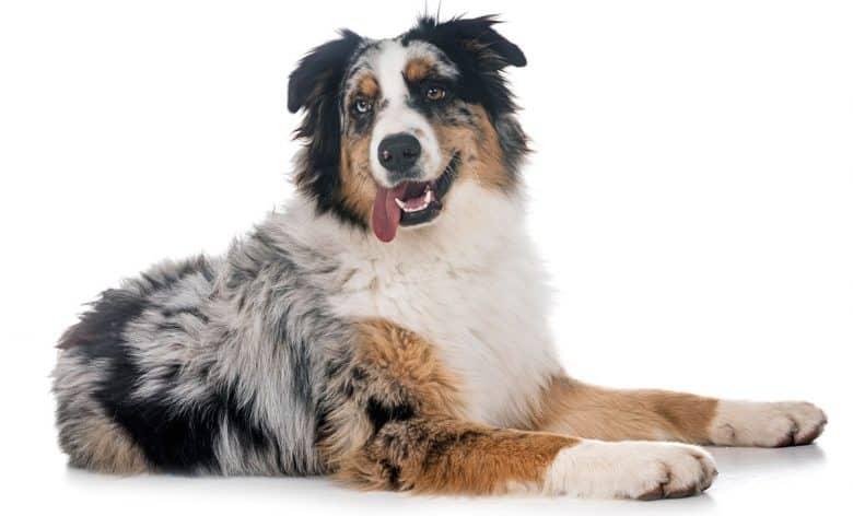 Purebred Australian Shepherd dog portrait