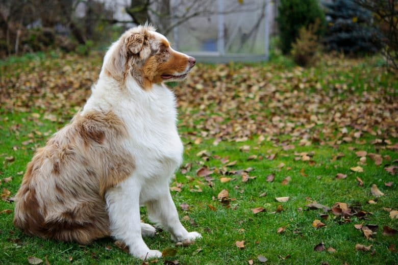 Australian Shepherd sitting on a grass garden with dried leaves during fall season
