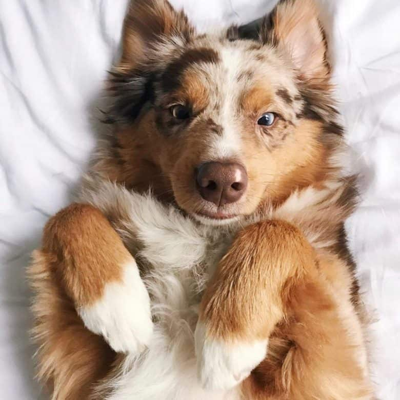 Australian Shepherd playing in the bed