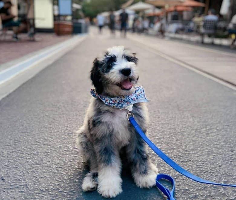 Aussiedoodle mix dog sitting on the street